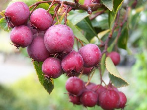 bgardens berries